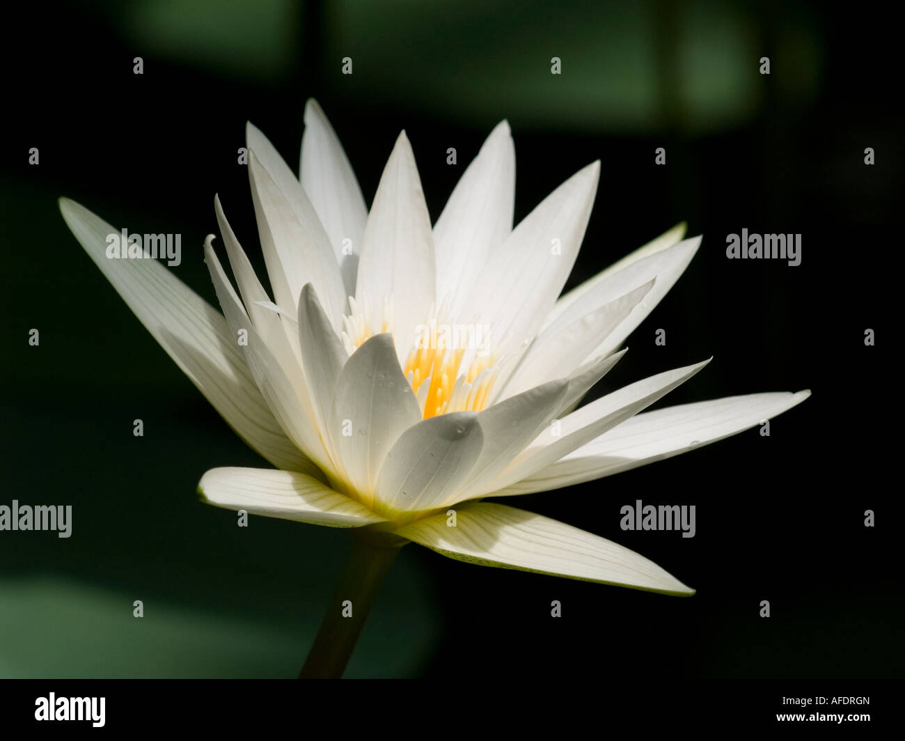 Single white water lily flower nymphaea sub tropical aquatic plant single white water lily flower nymphaea sub tropical aquatic plant izmirmasajfo Images