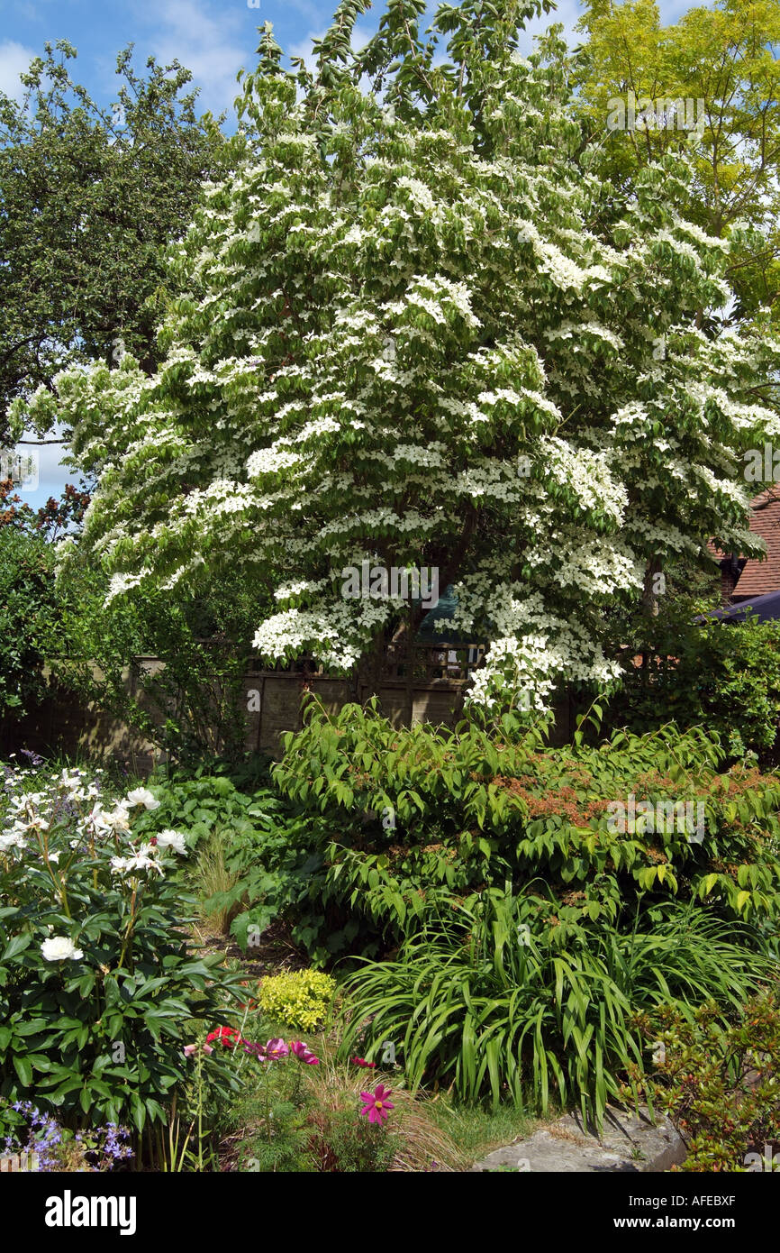Mountain dogwood pacific dogwood tree Cornus nuttallii. Flowering in ...