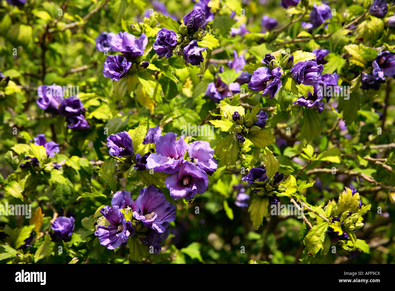 Shrubs with purple flowers pictures - Flowering Summer Shrubs Part 47 Hibiscus Shrub In Bloom With Purple Flowers In Summer