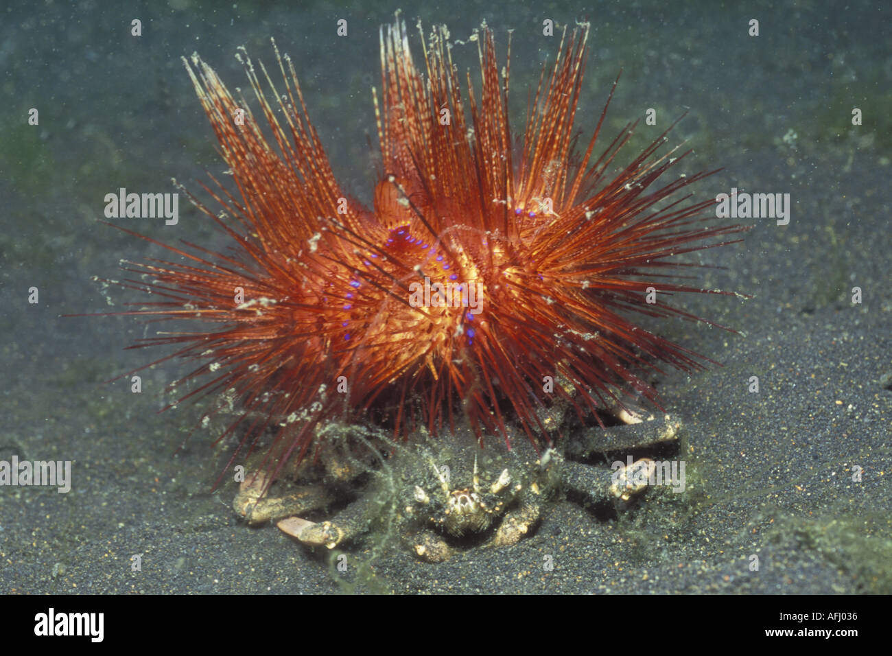 carrier crab and sea urchin relationship