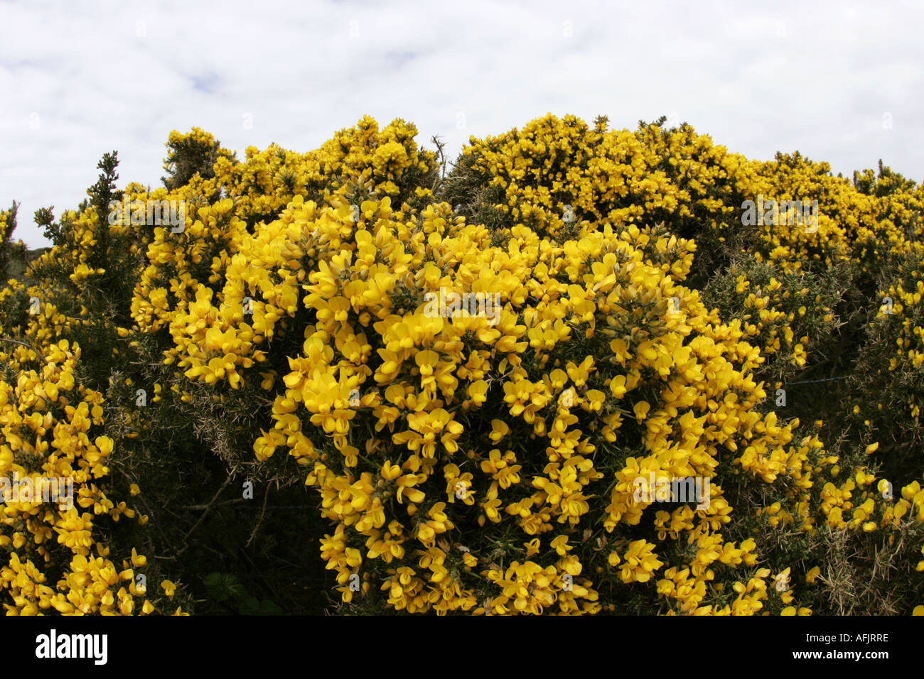 Yellow Blooming Bushes