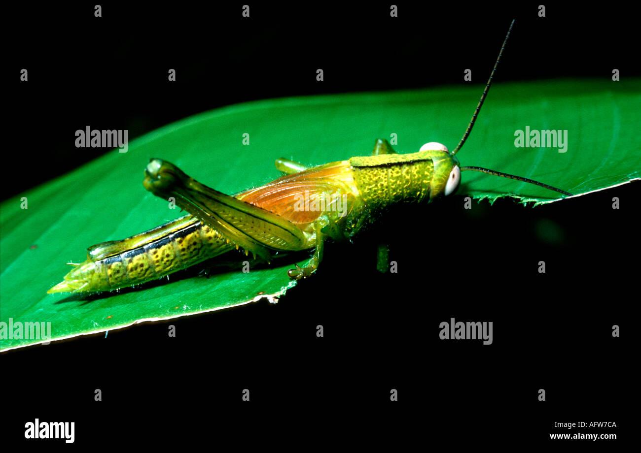 Dunk Island Animals: Grasshopper Eating A Leaf, Dunk Island, Great Barrier Reef