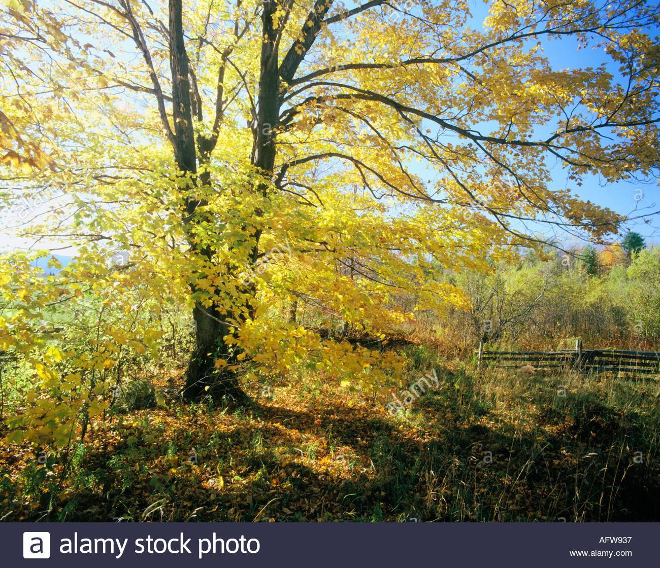 Maple tree in fall in the eastern townships near georgeville maple tree in fall in the eastern townships near georgeville quebec canada property release 287 sciox Choice Image