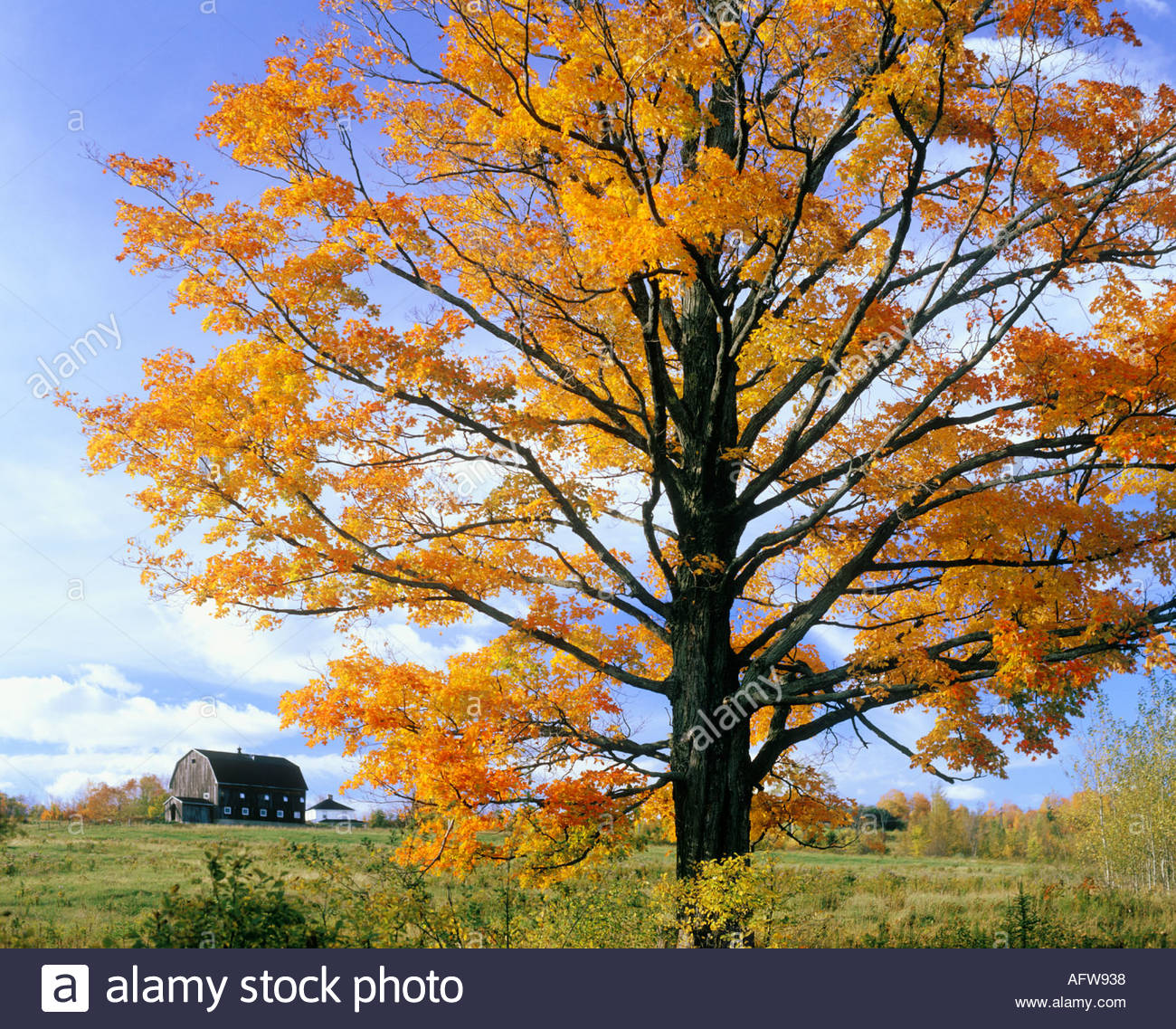 Maple tree in fall in the eastern townships near north hatley maple tree in fall in the eastern townships near north hatley quebec canada sciox Choice Image