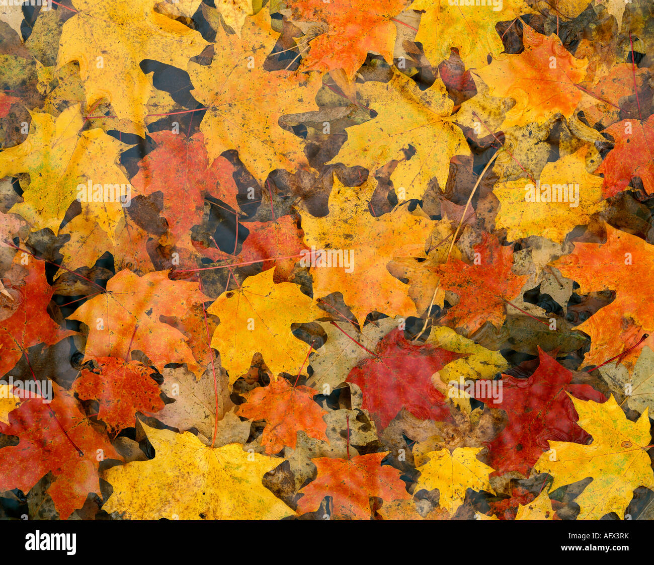 Autumn color sugar maple leaves on forest floor acer saccharum autumn color sugar maple leaves on forest floor acer saccharum eastern north america sciox Choice Image