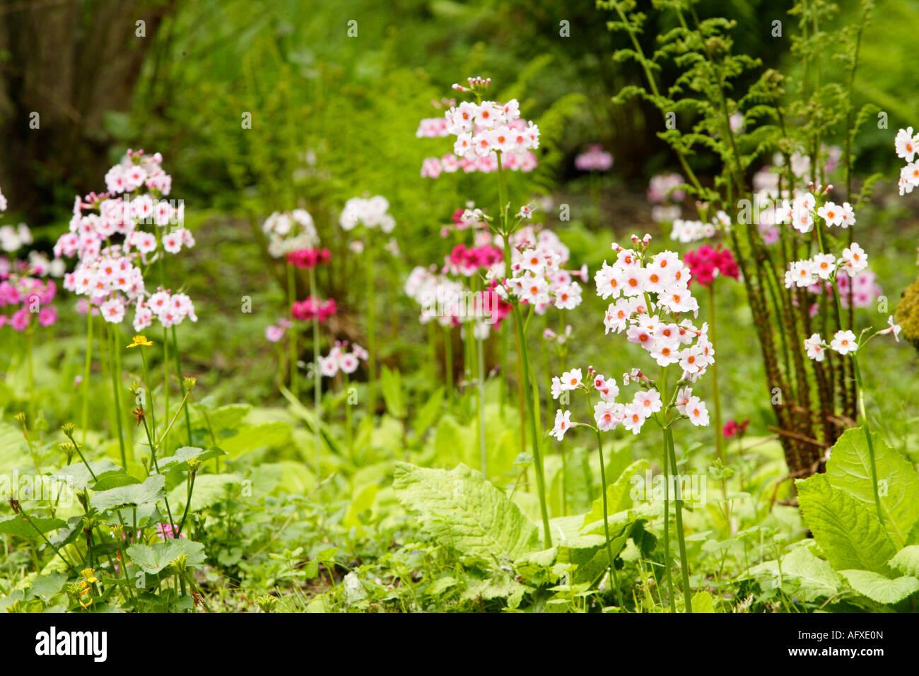 fair haven garden primula