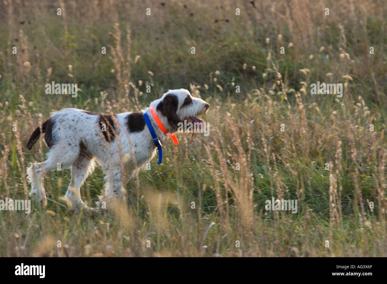 Image of italian spinone brown roan young puppy blue sitting cute - Italian Spinone Hunting Quail Weimaraner Club Hunt Test Boiling Springs Kentucky Stock Image