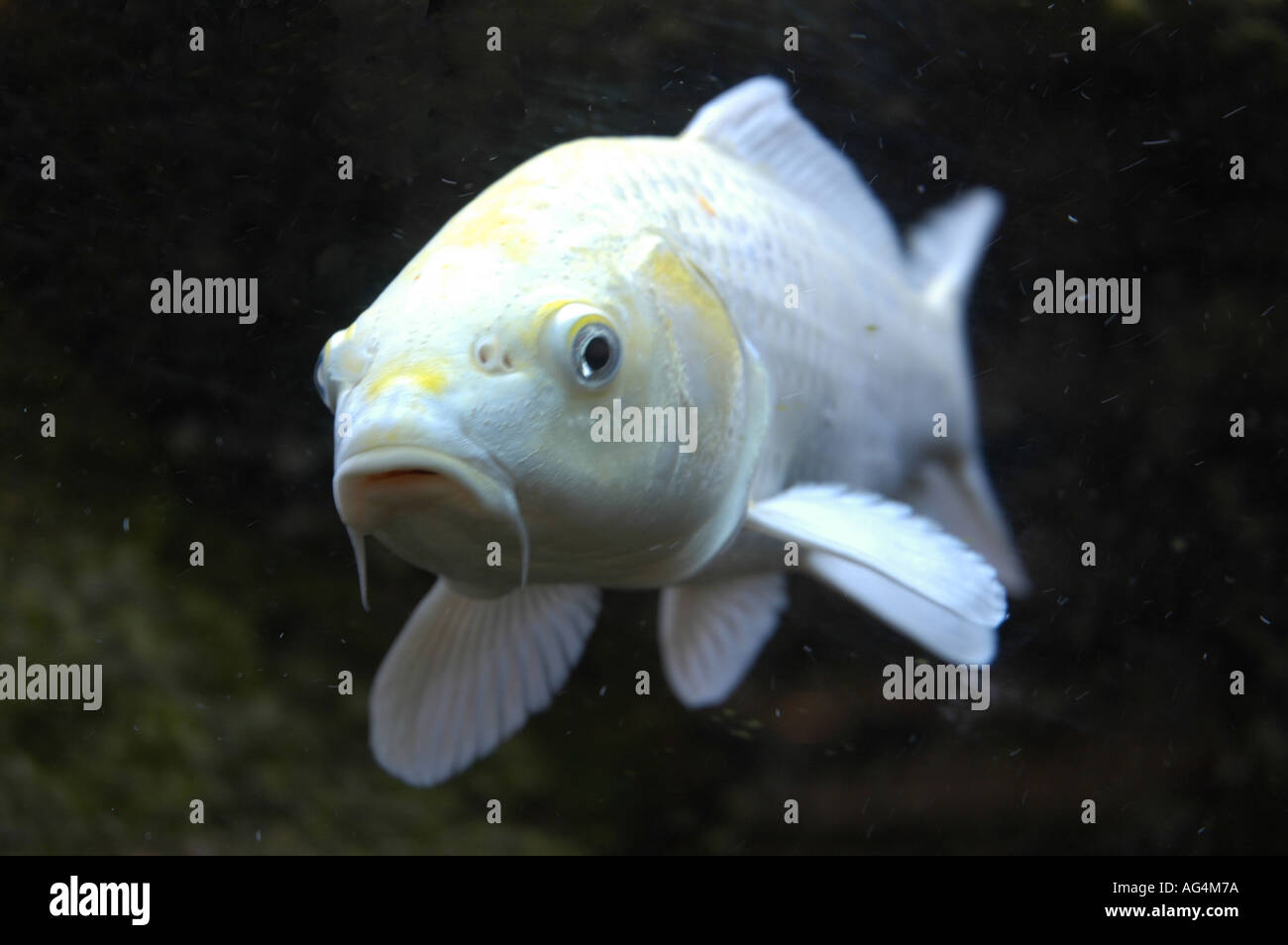 White fish close up in cold water tank stock photo for What are cold water fish