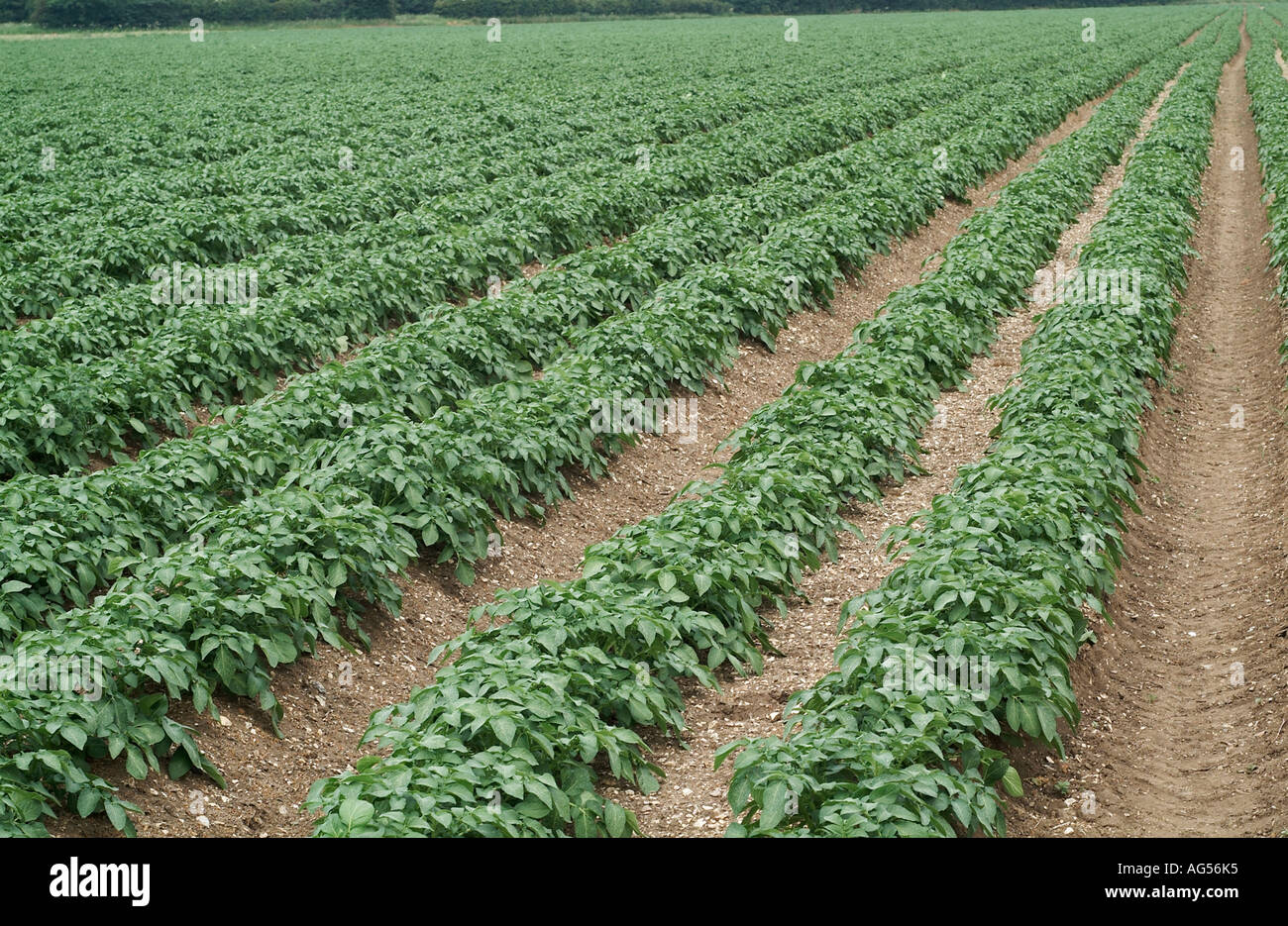 Stock Photo Young Potato Crop Field England Uk Solanum Tuberosum Potatoes Are The World S Most Widely Grown Tuber Crop