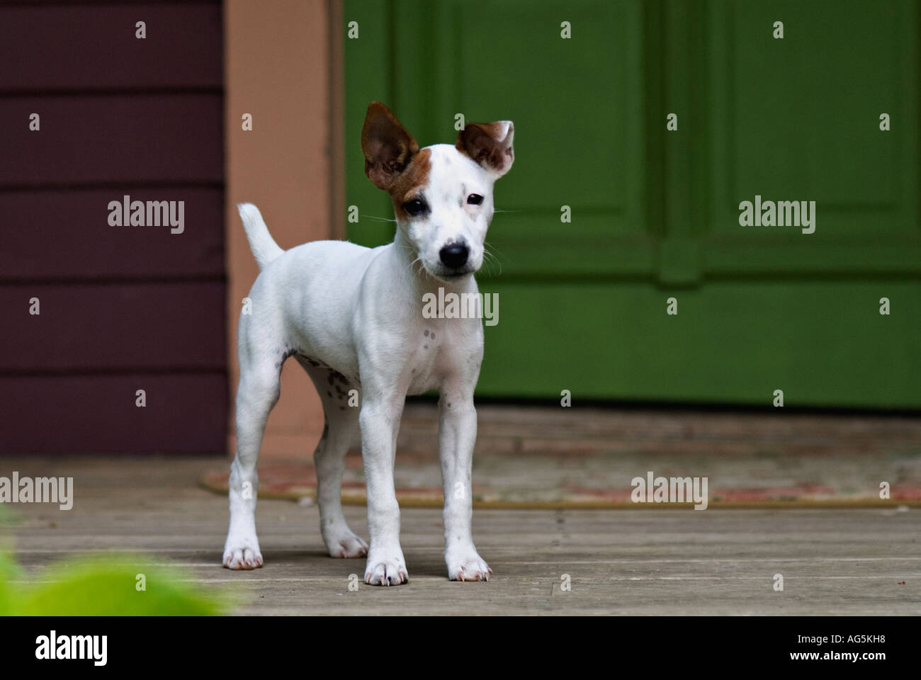 parson jack russell terrier puppy standing on porch of old farm house stock photo 8058711 alamy. Black Bedroom Furniture Sets. Home Design Ideas