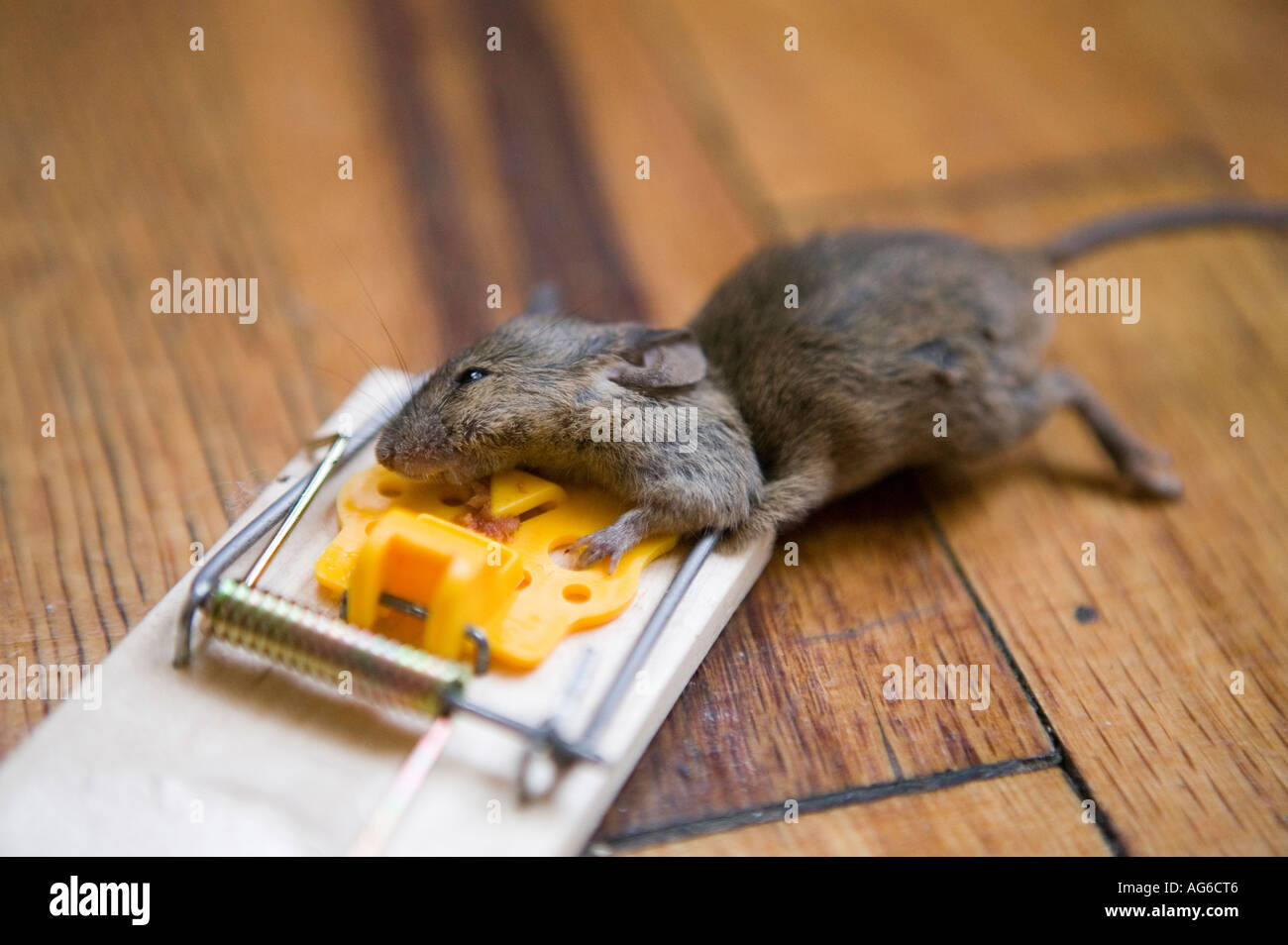 Mouse Caught In A Trap In An Apartment July 2006 Stock