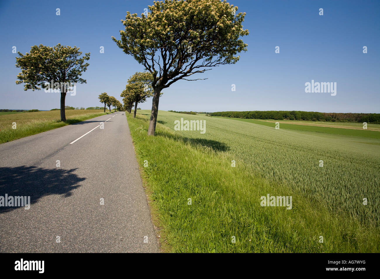 Tree Lined Road with Green Field A straight road with a white ... for Straight Road With Trees  51ane