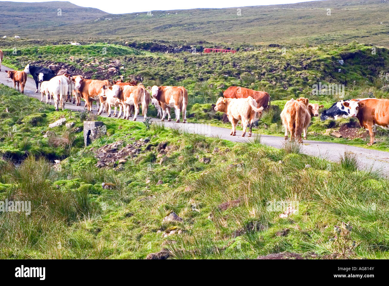 line of cows walking down the road on a single track byway near