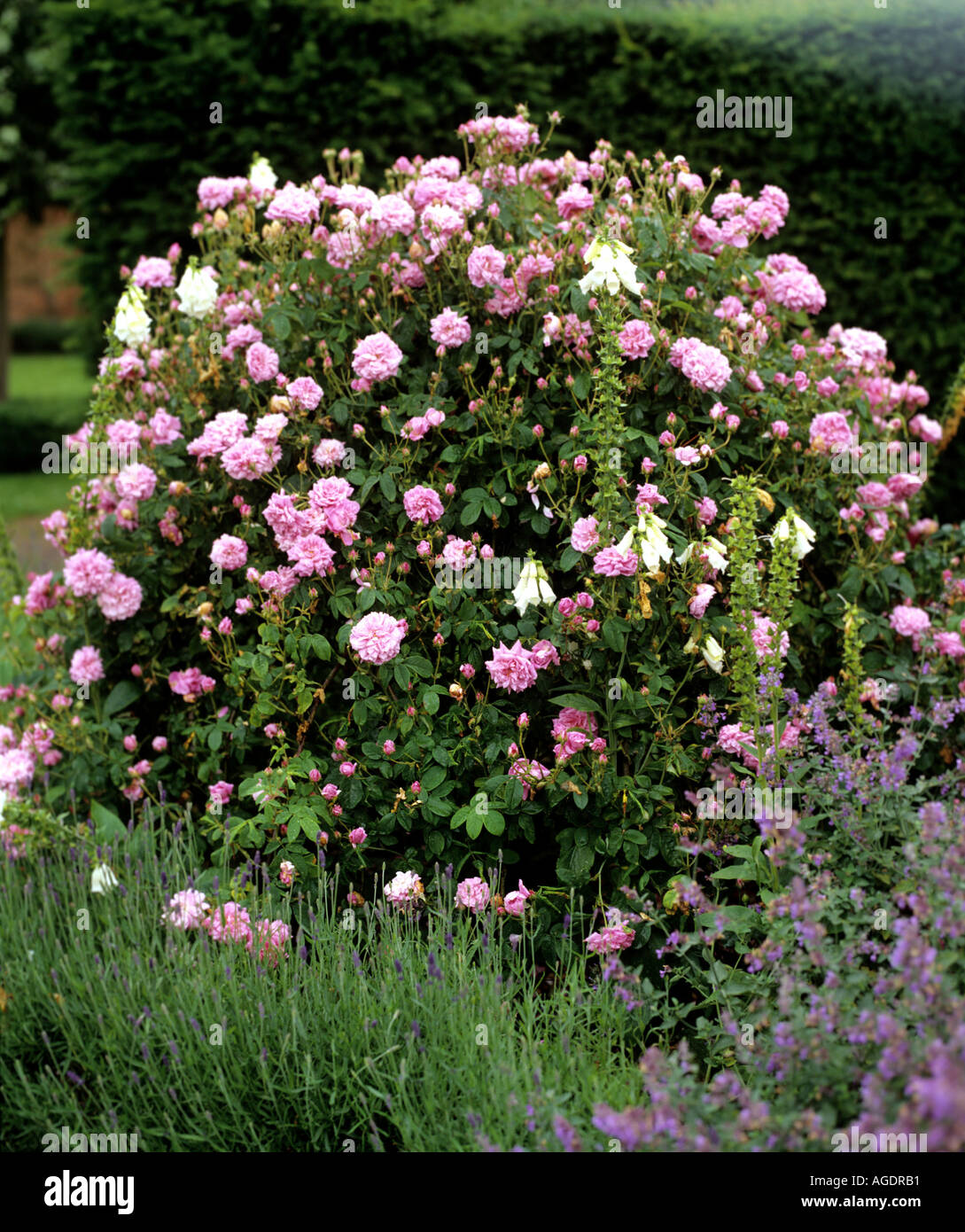 Rose Bush Variety Empress Josephine Growing In Border In Garden