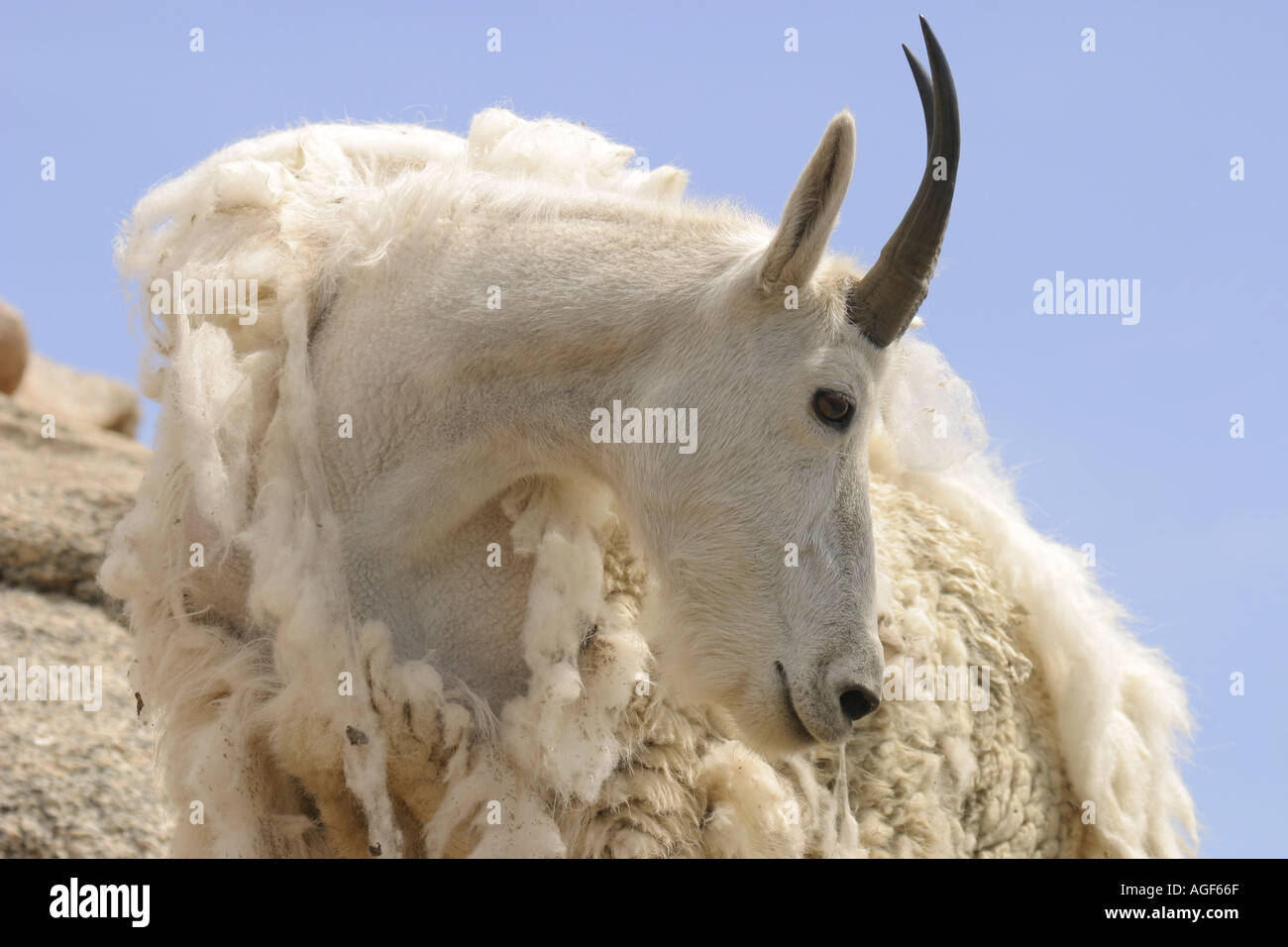 Mountain Goat In Early Summer Shedding Fur