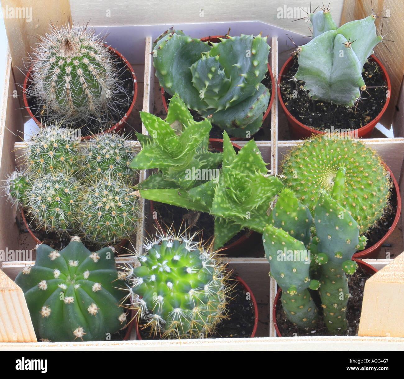 Cacti cactuses cactaceae compilation of succlent for Plants for sale
