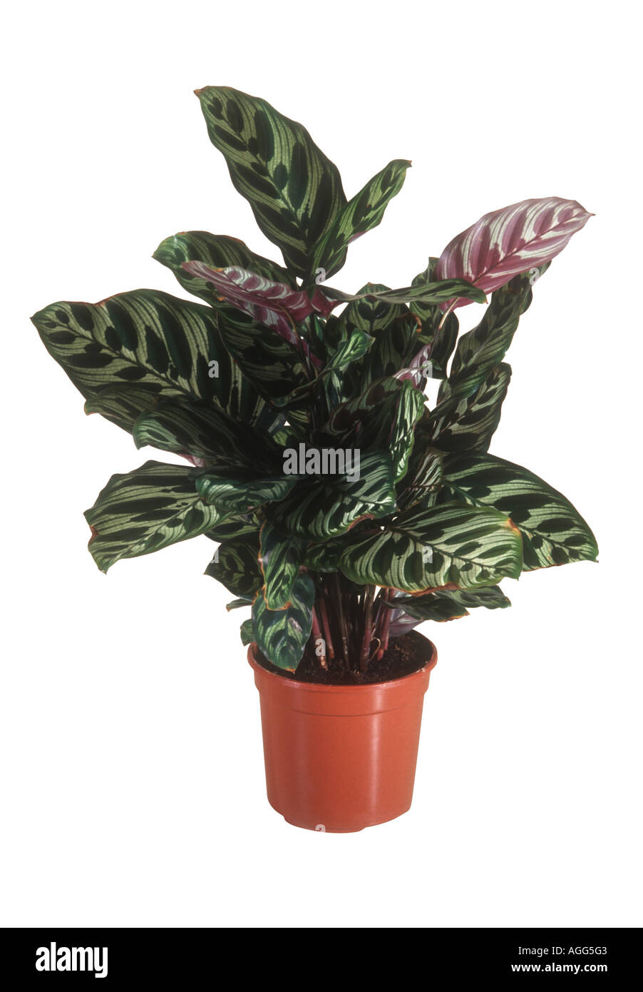 peacock plant calathea makoyana potted plant stock photo royalty free image 8115138 alamy. Black Bedroom Furniture Sets. Home Design Ideas