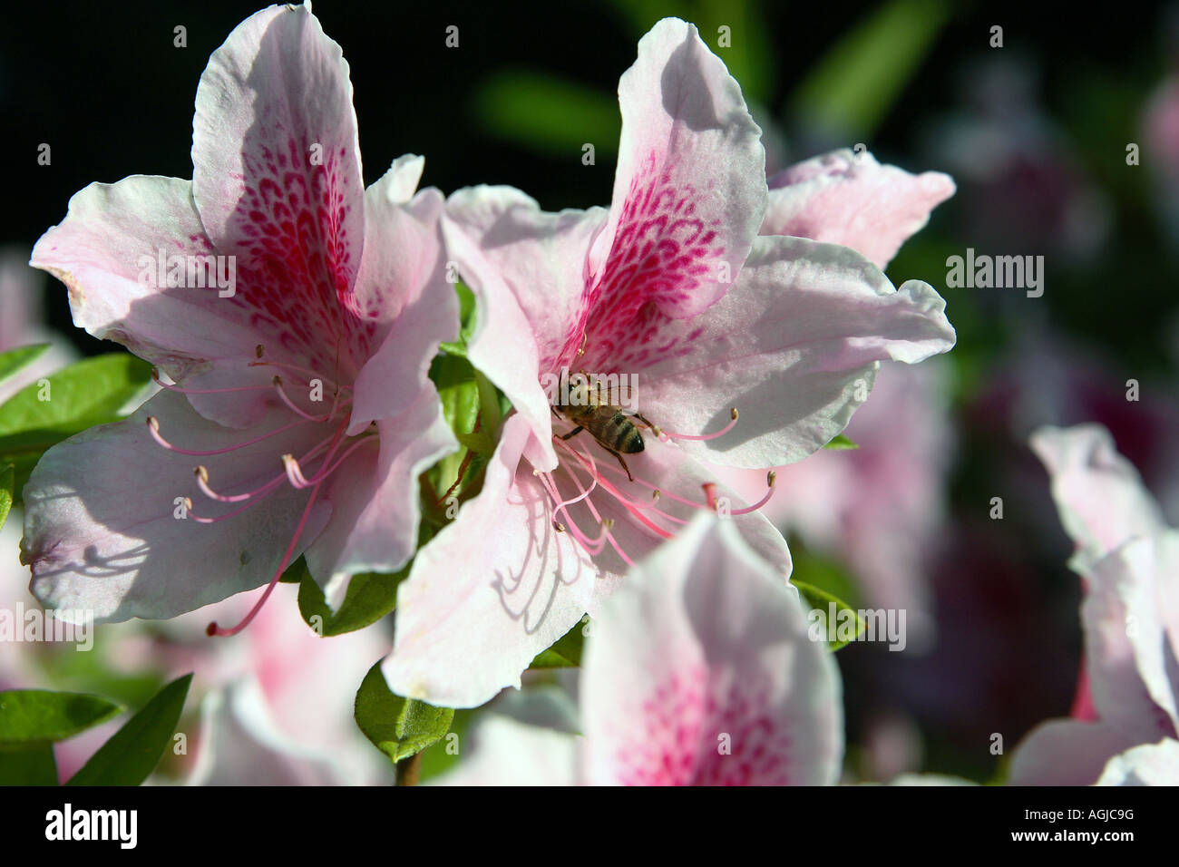 Flowers that bloom in the winter - Pink And Purple Flowers Bloom After Late Winter Rains In Northern California A Honey Bee Takes