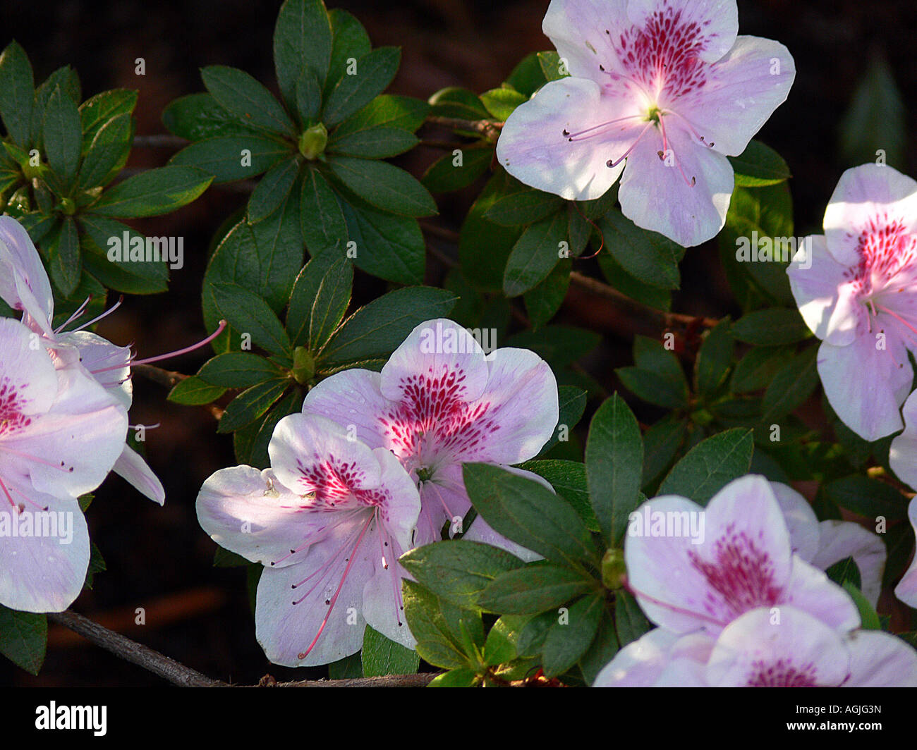 Flowers that bloom in the winter - Pink And Purple Flowers Bloom After Late Winter Rains In Northern California Stock Photo
