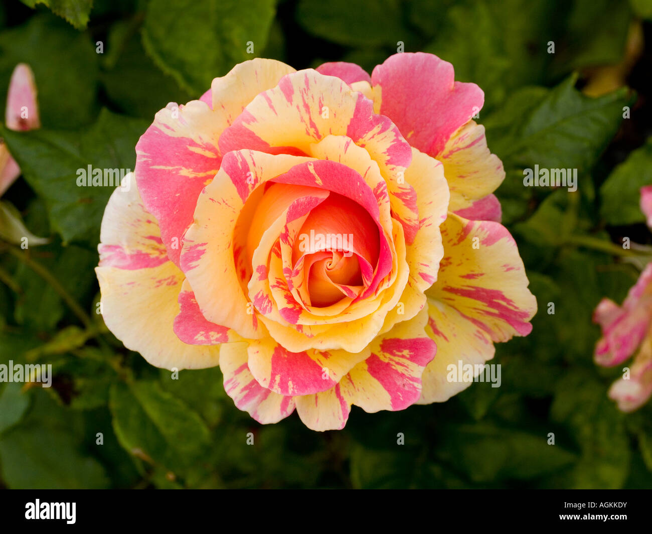 yellow and pink variegated rose bloom and leaves rosa. Black Bedroom Furniture Sets. Home Design Ideas