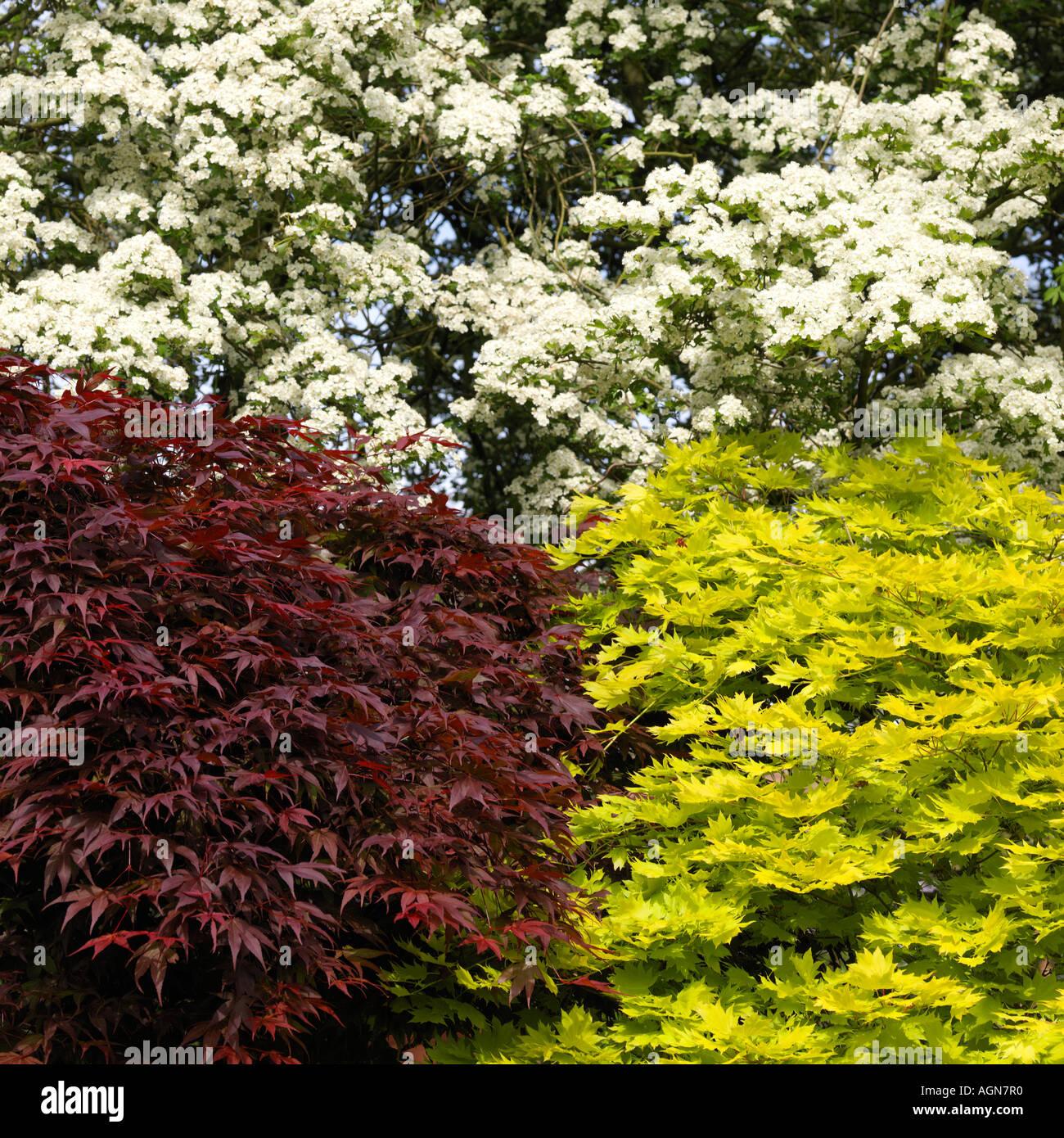 hawthorn tree acer palmatum atropurpureum and acer. Black Bedroom Furniture Sets. Home Design Ideas