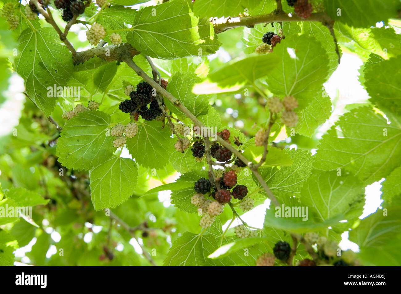 israel morus nigra black mulberry tree and fruit in a garden, Beautiful flower