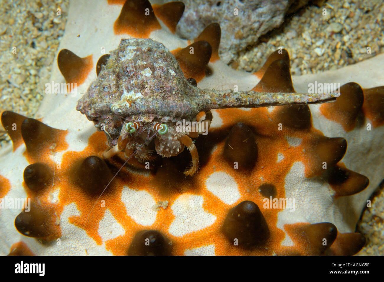 Anemone hermit crab Dardanus pedunculatus over chocolate chip ...
