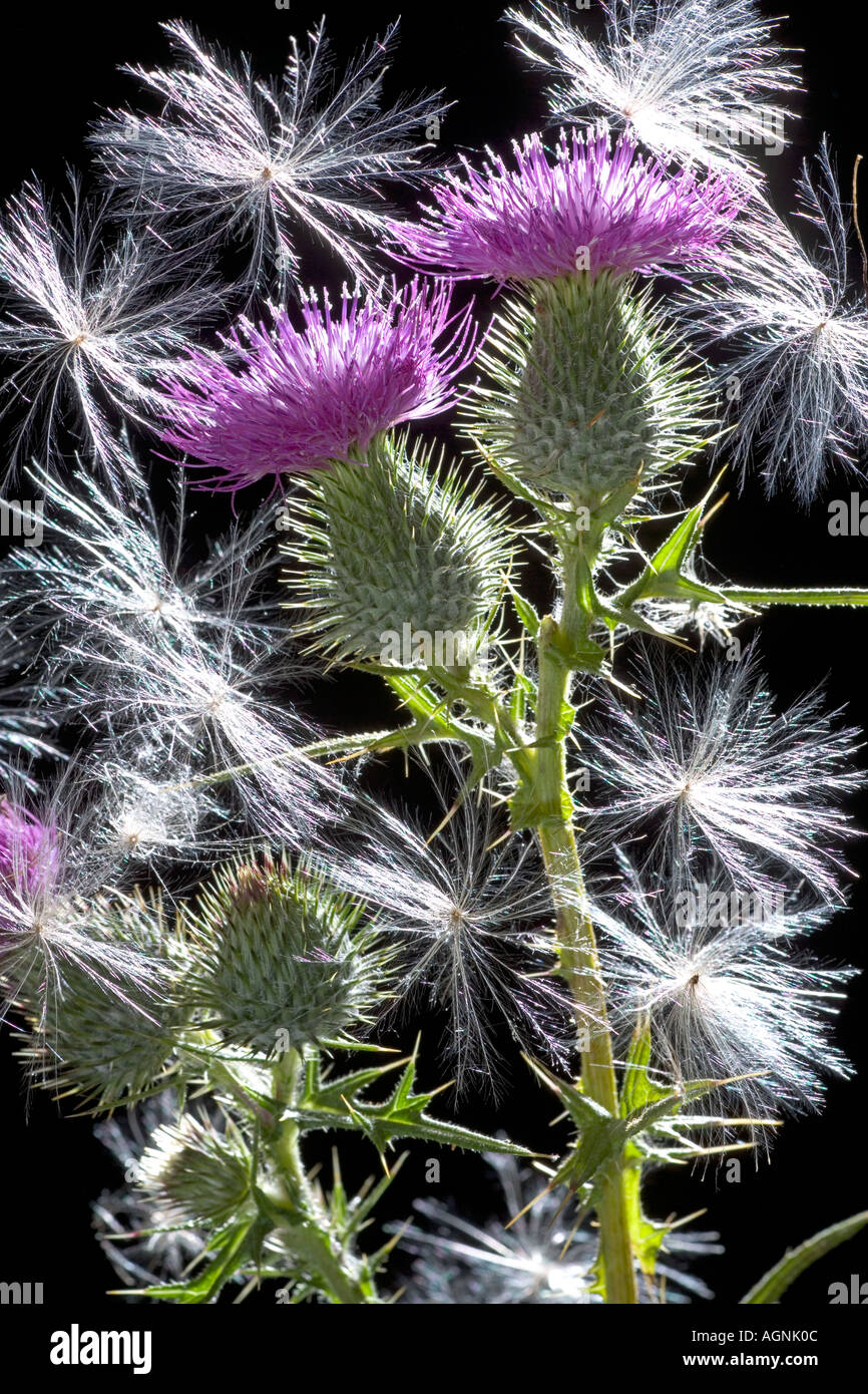 scottish thistle cirsium vulgare backlit showing seeds stock photo
