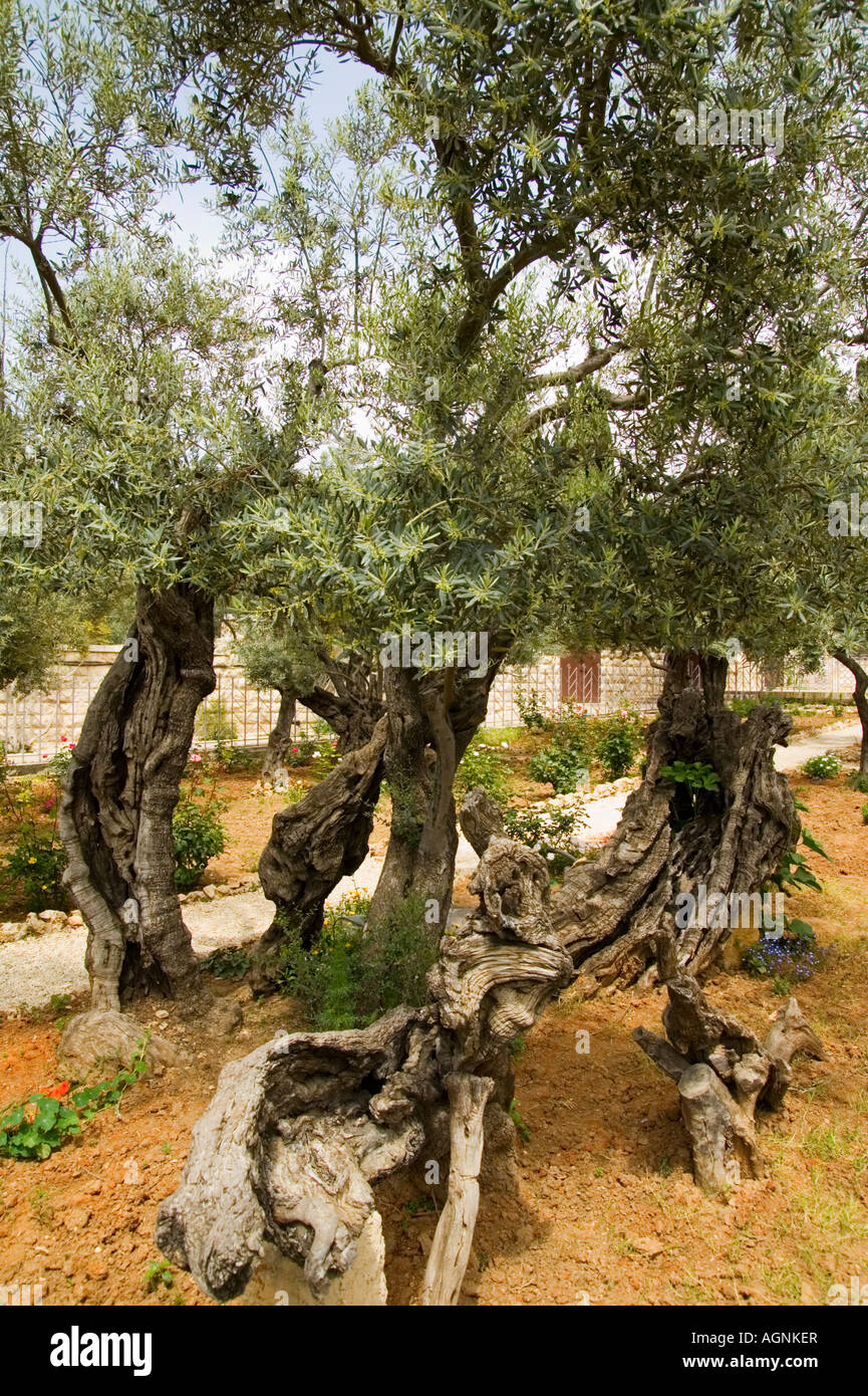 What Trees Grow In The Garden Of Gethsemane Garden Ftempo
