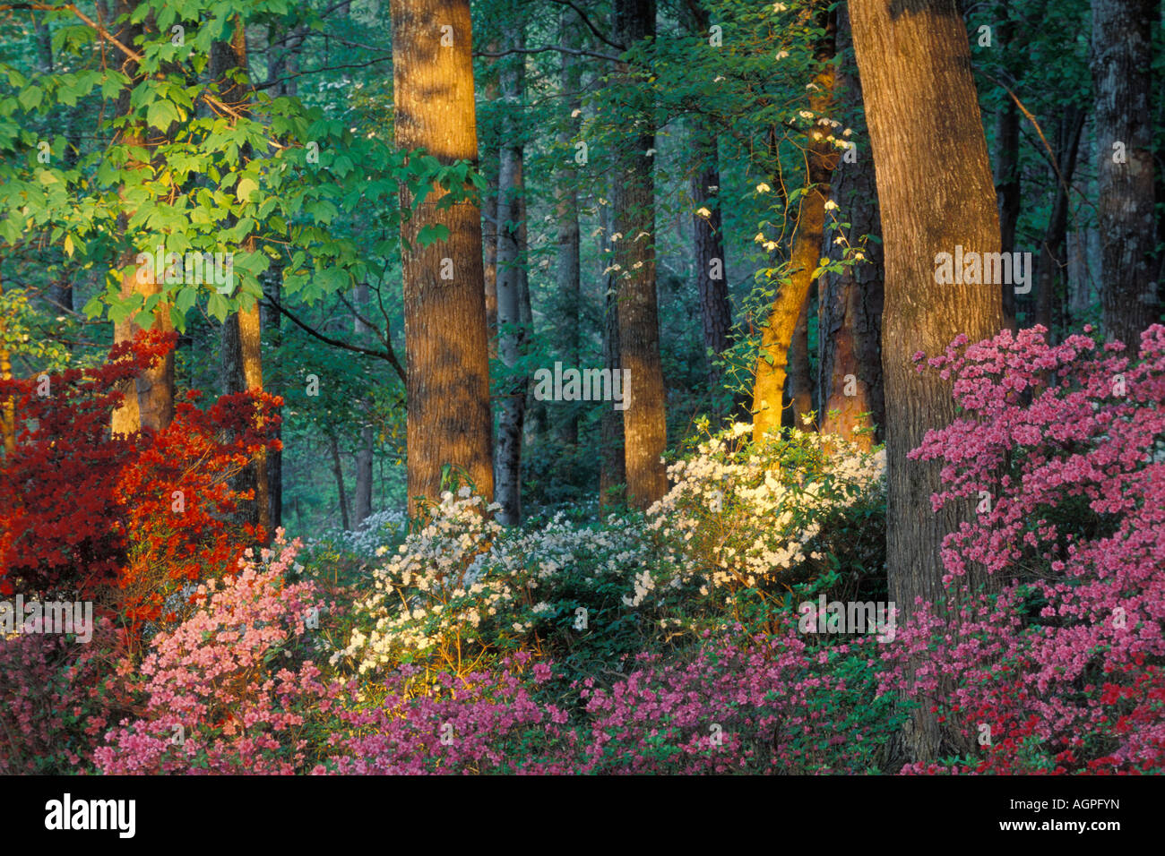 Usa Georgia Callaway Gardens Azalea Forest Stock Photo Royalty