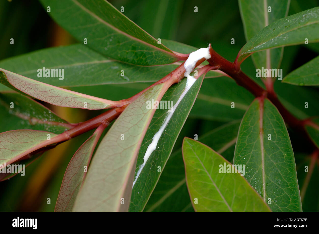Exuding sap exuding from the cut stem of euphorbia griffithii stock photo