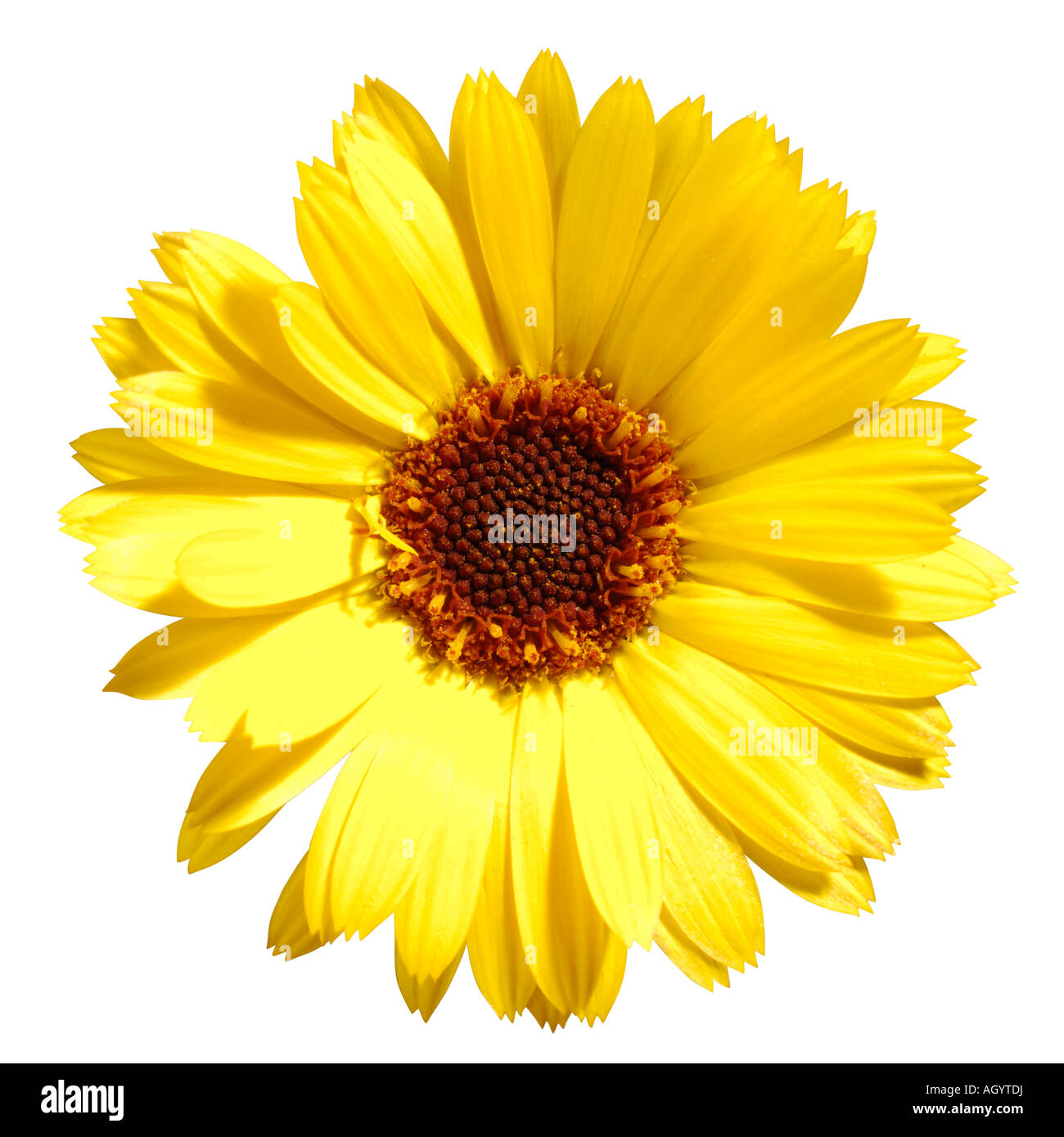 Yellow daisy type flower stock photo royalty free image 14311517 stock photo yellow daisy type flower dhlflorist Images