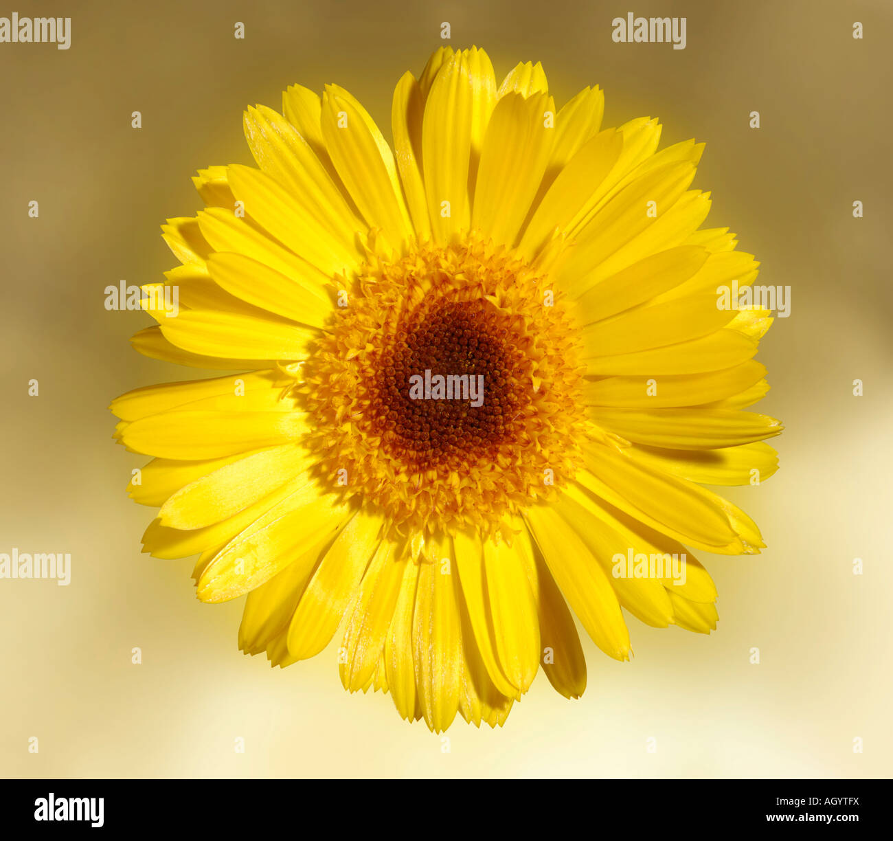 Yellow daisy type flower stock photo royalty free image 14311549 stock photo yellow daisy type flower dhlflorist Images