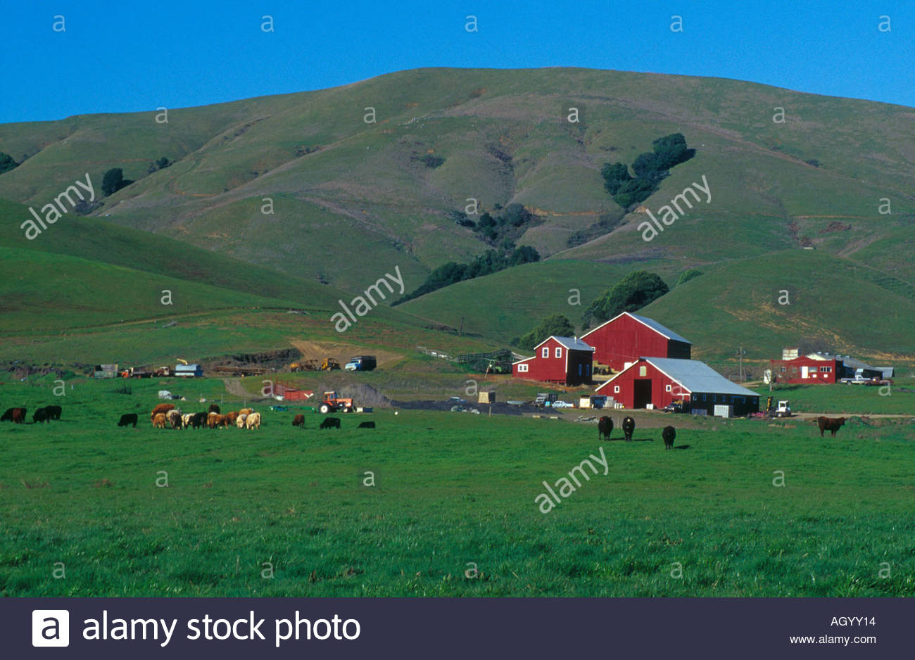 Cow on green pasture with red barn with grain silo royalty free stock - Farm And Dairy Land Red Barn And Cows West Of Petaluma Sonoma County California