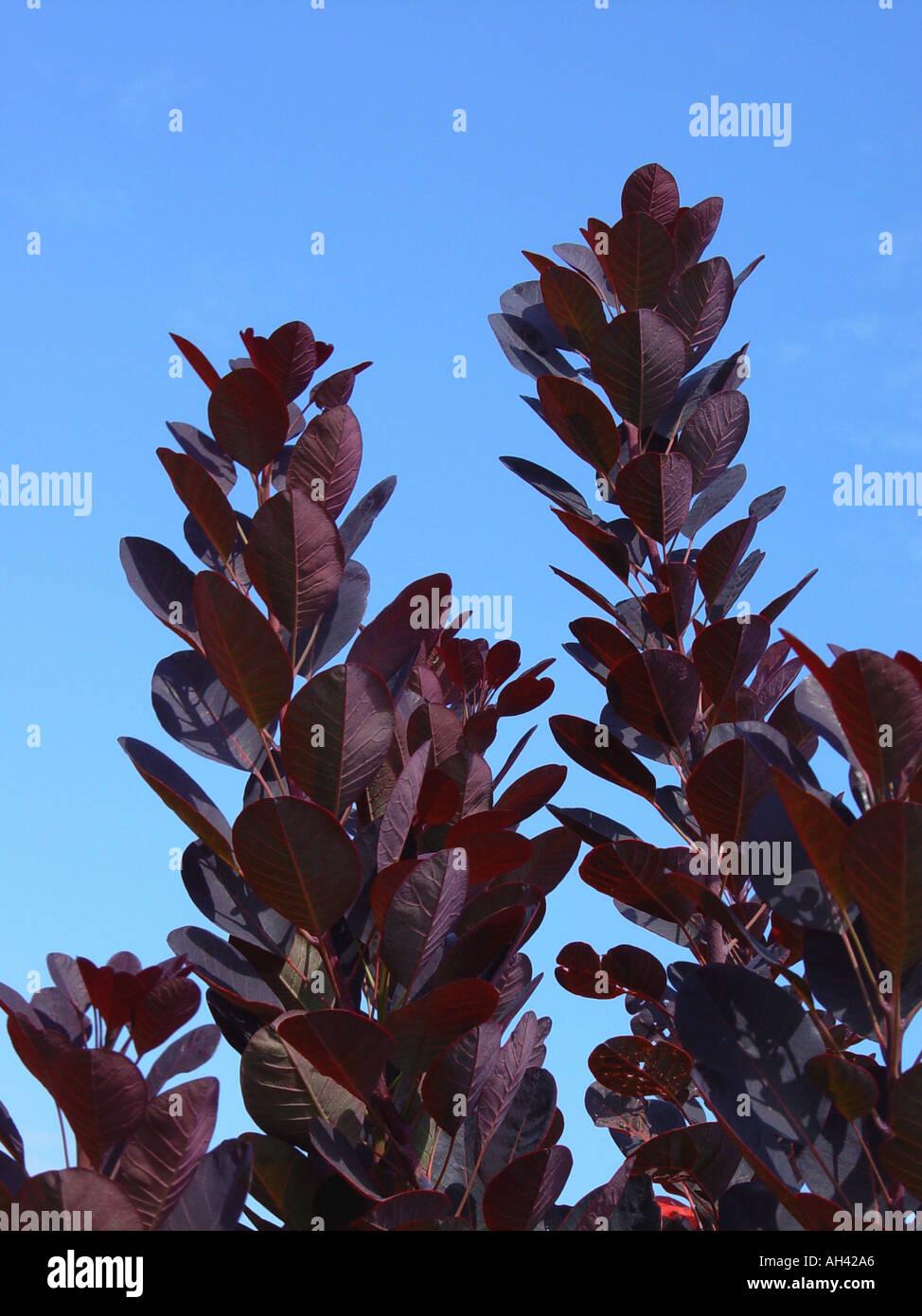 Cotinus Coggygria Royal Purple Against Blue Sky Garden