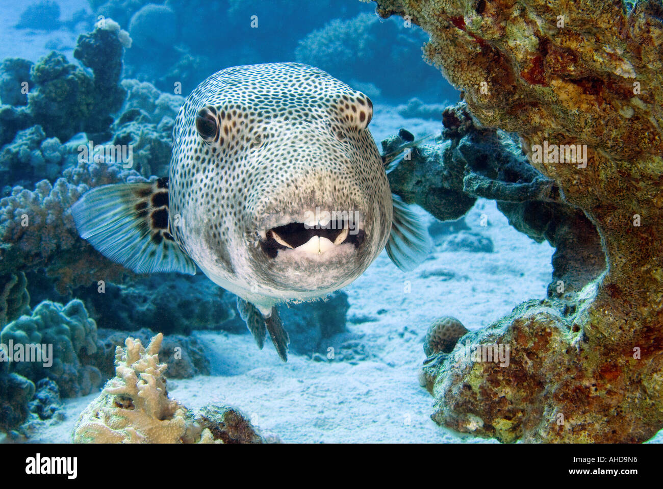 Image gallery large puffer fish for Red sea fish