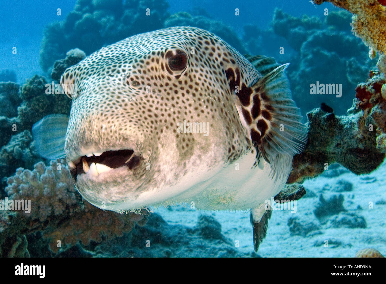 Large puffer fish in the red sea stock photo royalty free for Large ocean fish