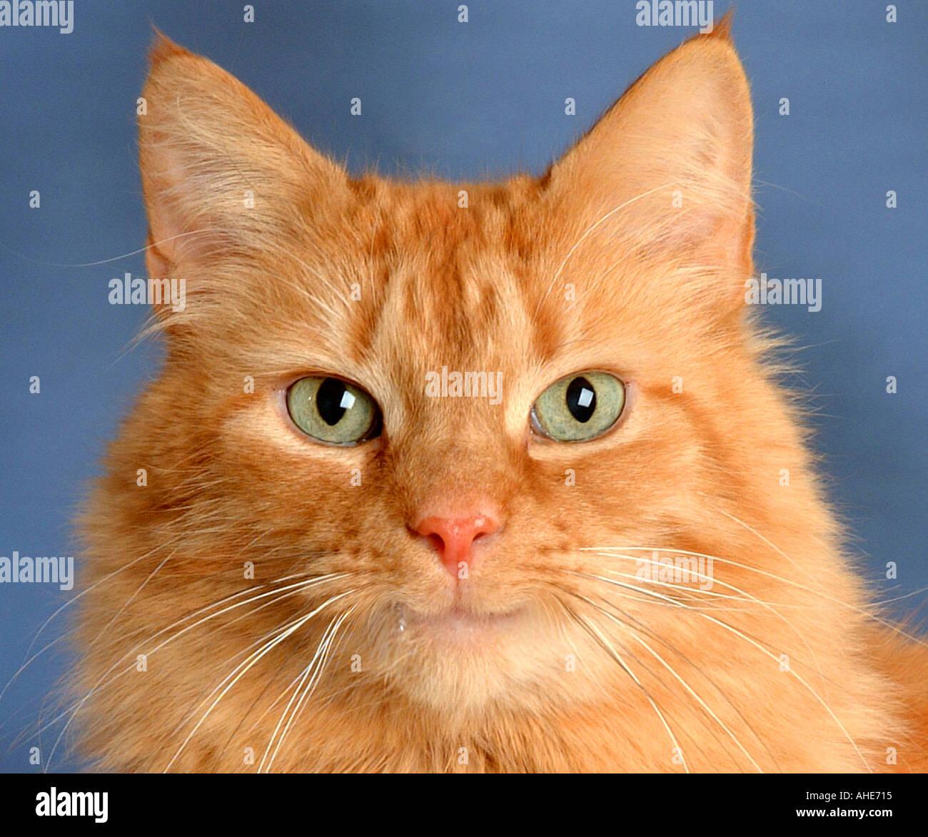 ginger cat deutsch