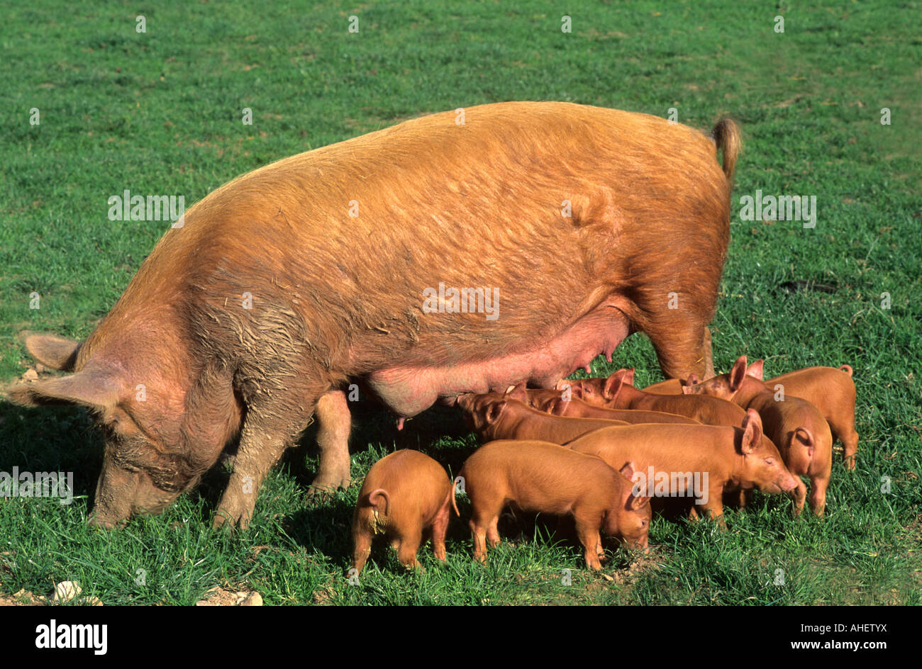 Domestic baby animals with their mothers