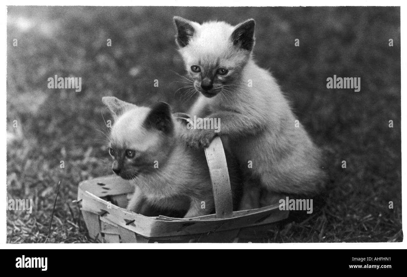 Siamese Kittens Basket Stock Royalty Free Image