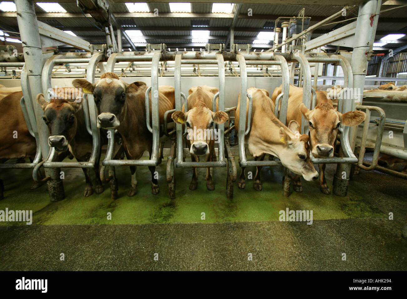 jersey cows full colour full color horizontal animal animals