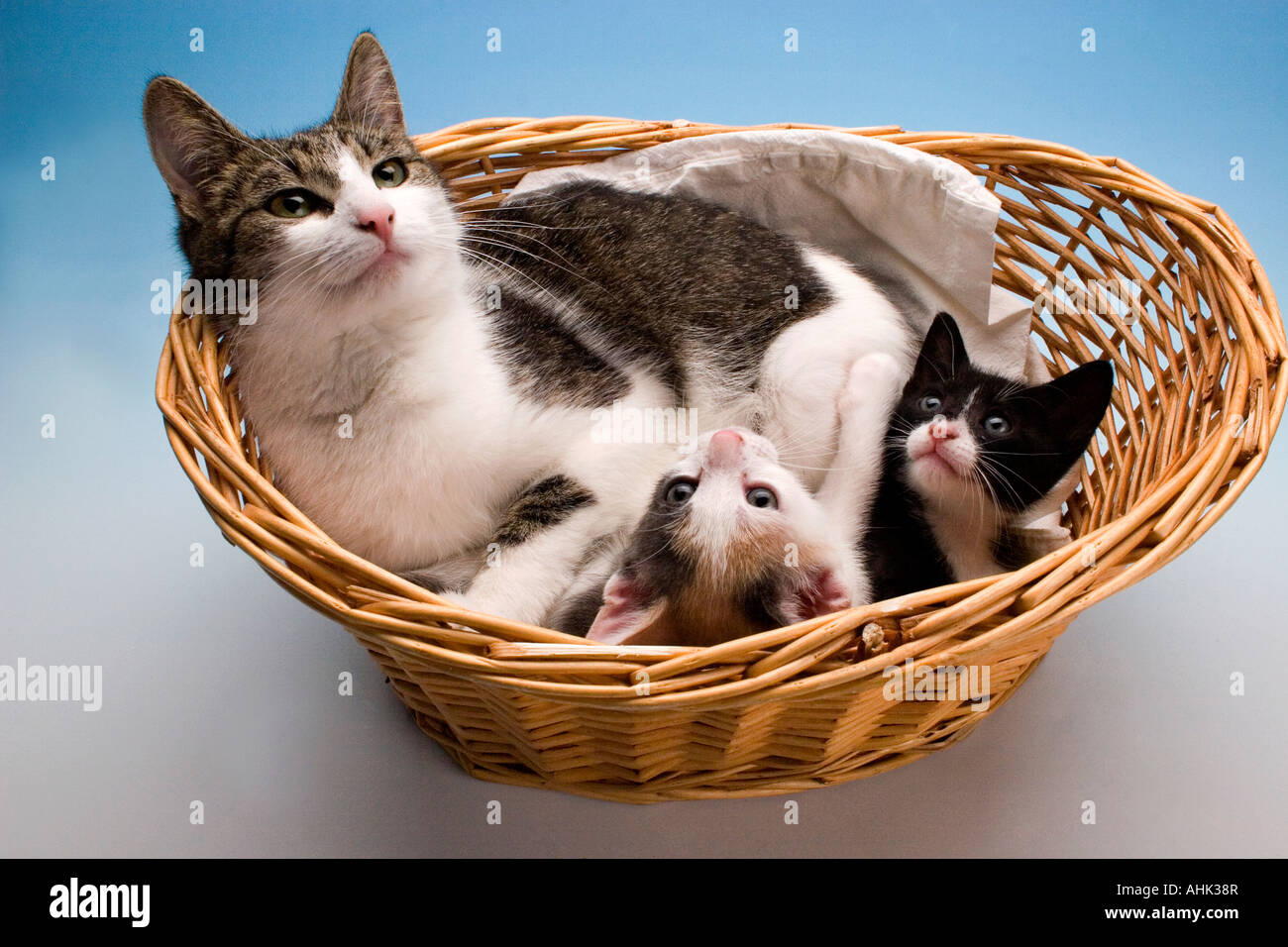 mother tabby and white cat in basket with her two kittens ...