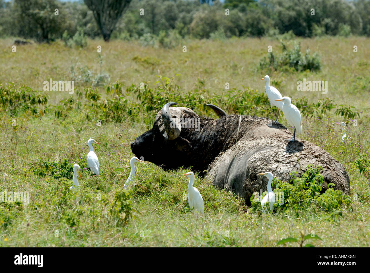 cattle egrets and cape buffalo relationship therapy