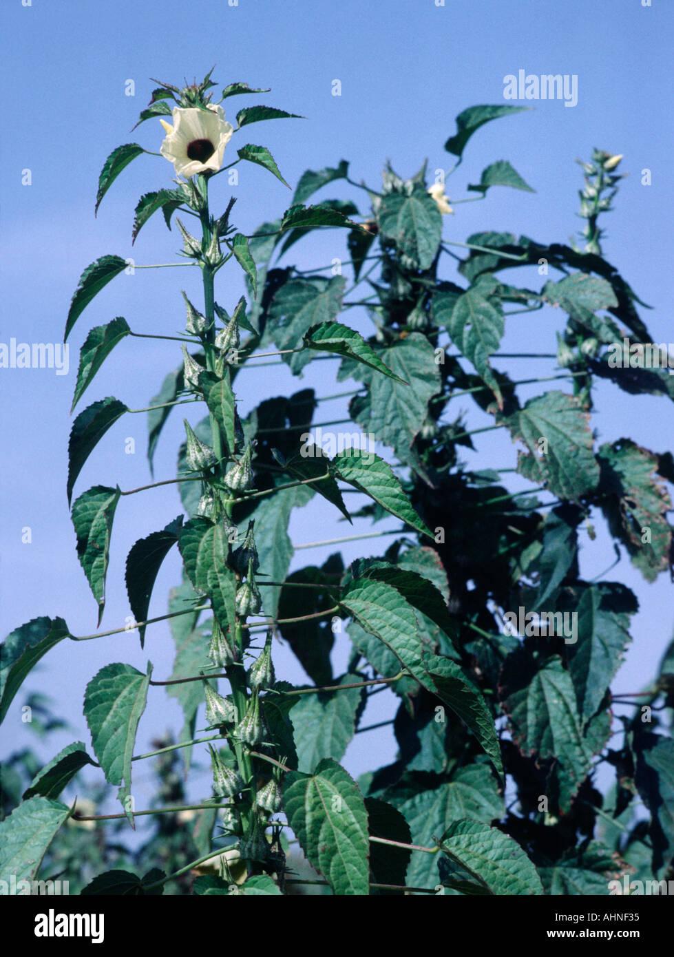 Okra plant hibiscus esculentus vegetable coming into flower in