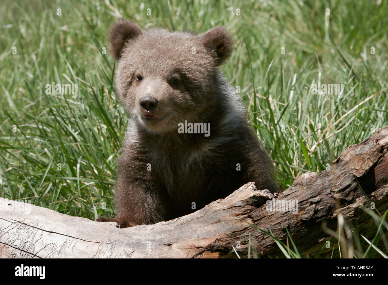 baby grizzly bear cuddly teddy bear urus horribilis Stock ...