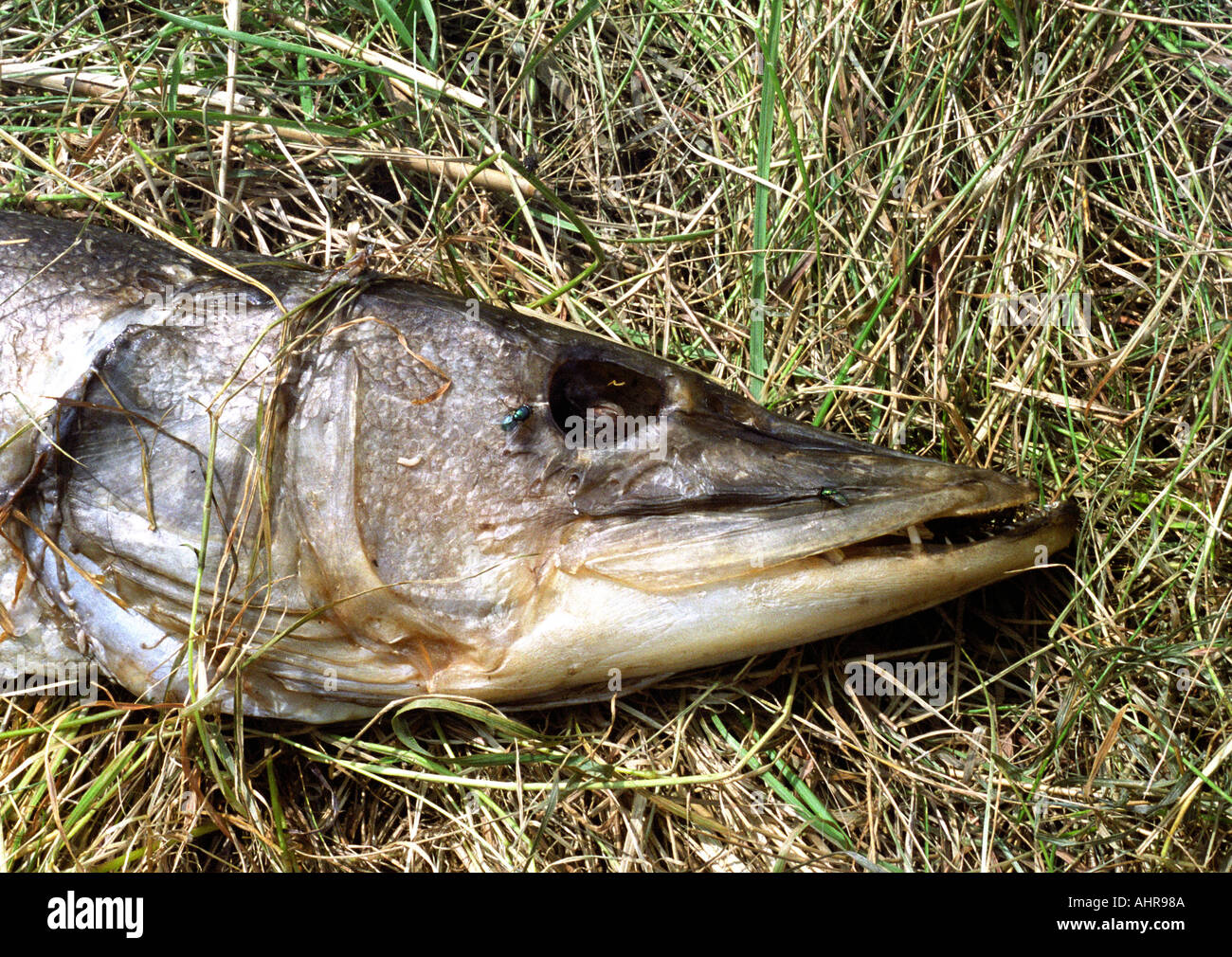 Freshwater fish england - Large Dead Dried Out Pike Fish On Riverbank In England