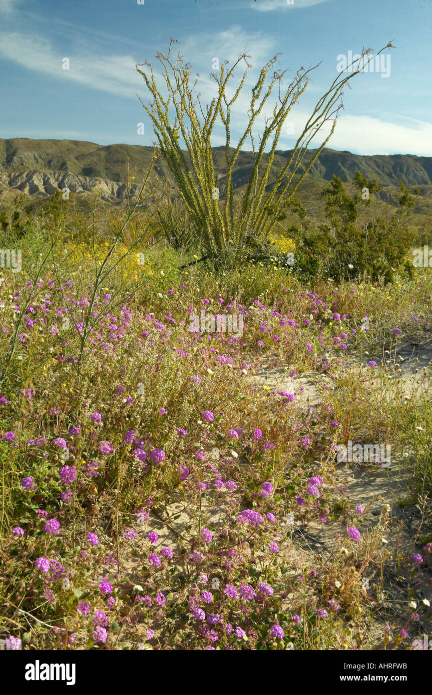 Ocotillo blossoms in desert purple flowers in spring at coyote ocotillo blossoms in desert purple flowers in spring at coyote canyon anza borrego desert state park near anza borrego springs mightylinksfo Images