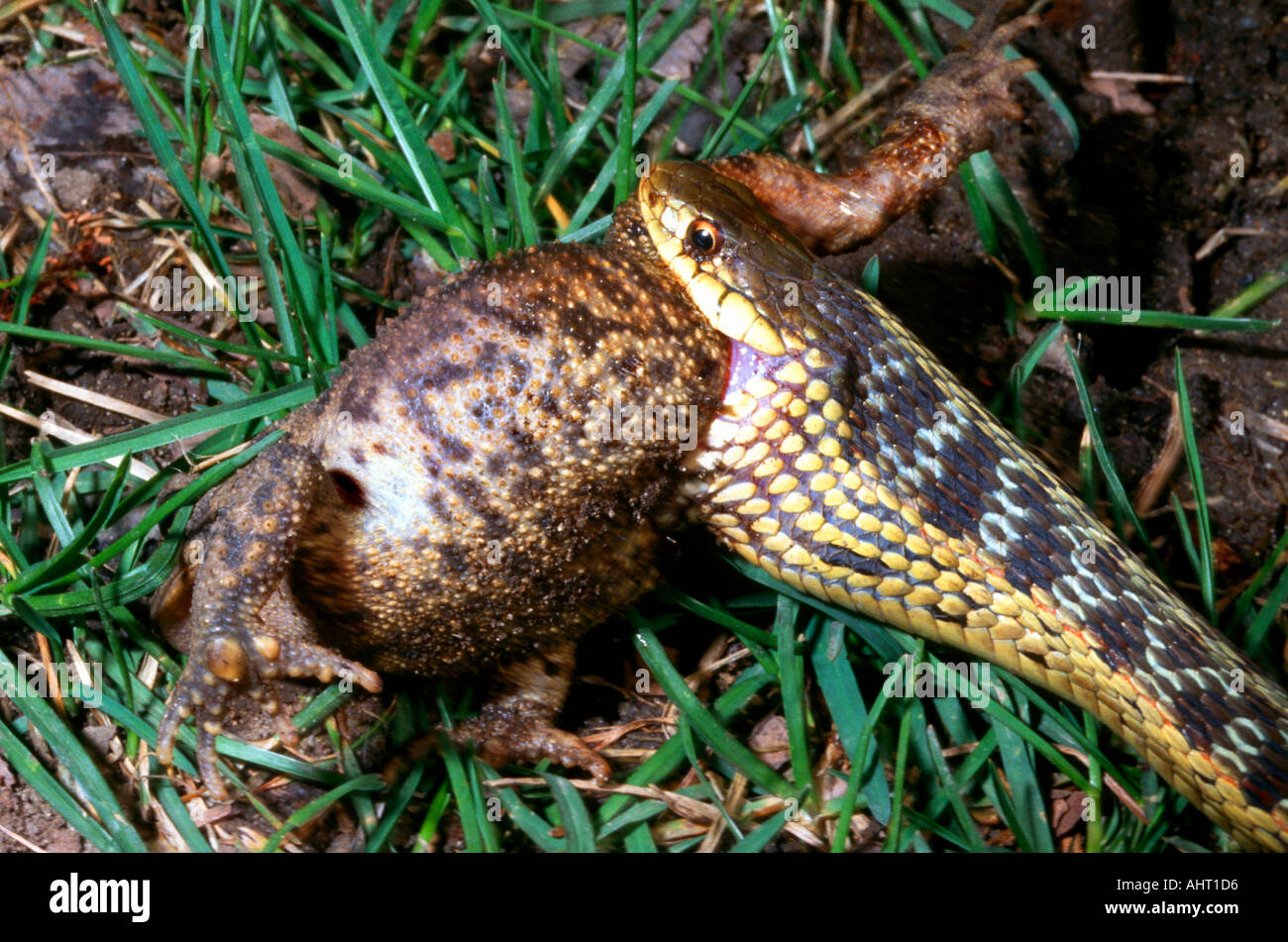 Common Garden Snake In The Process Of Eating A Ground Toad