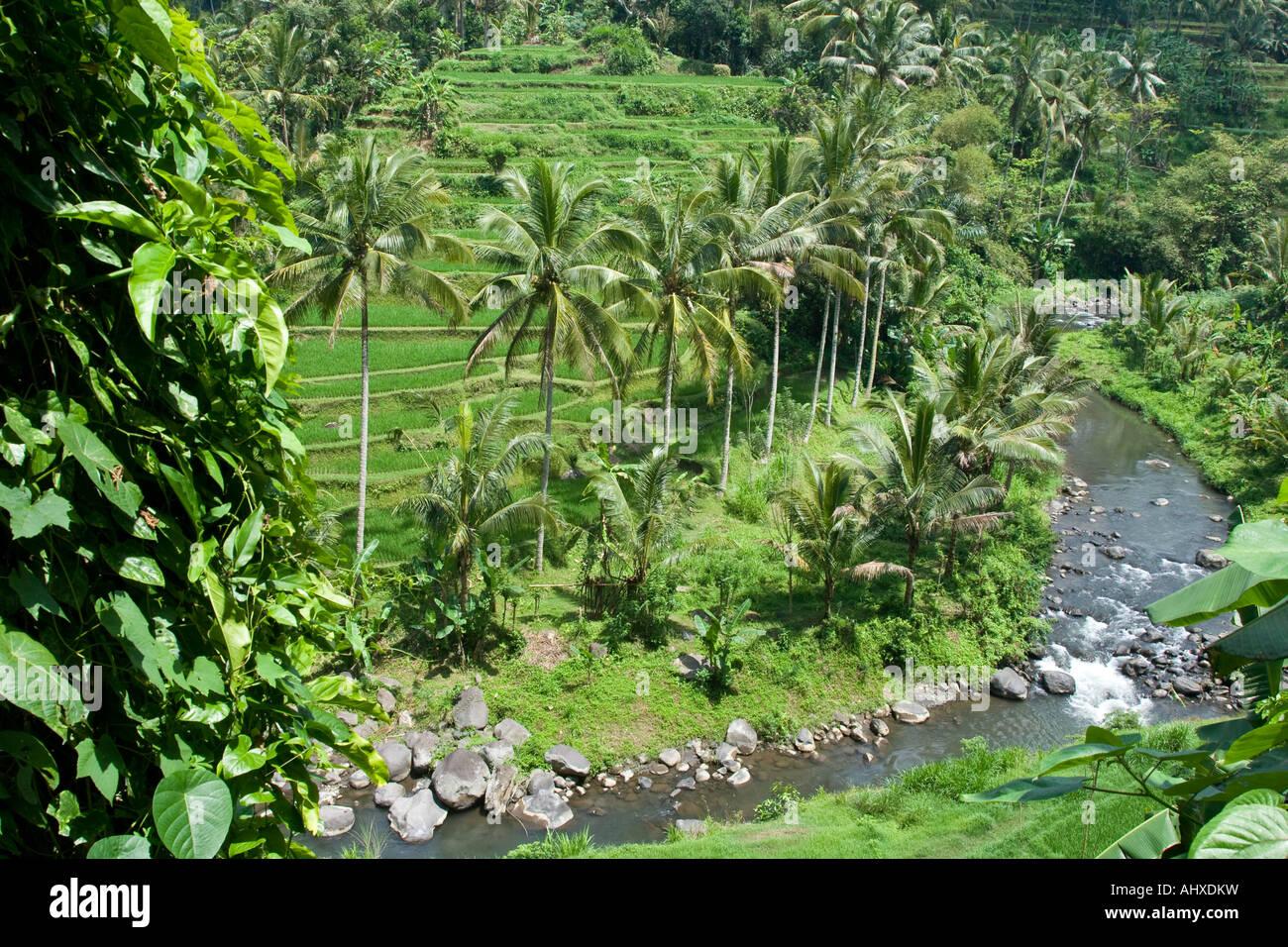 Rice terraces ayung river gorge ubud bali indonesia stock for Terrace ubud bali
