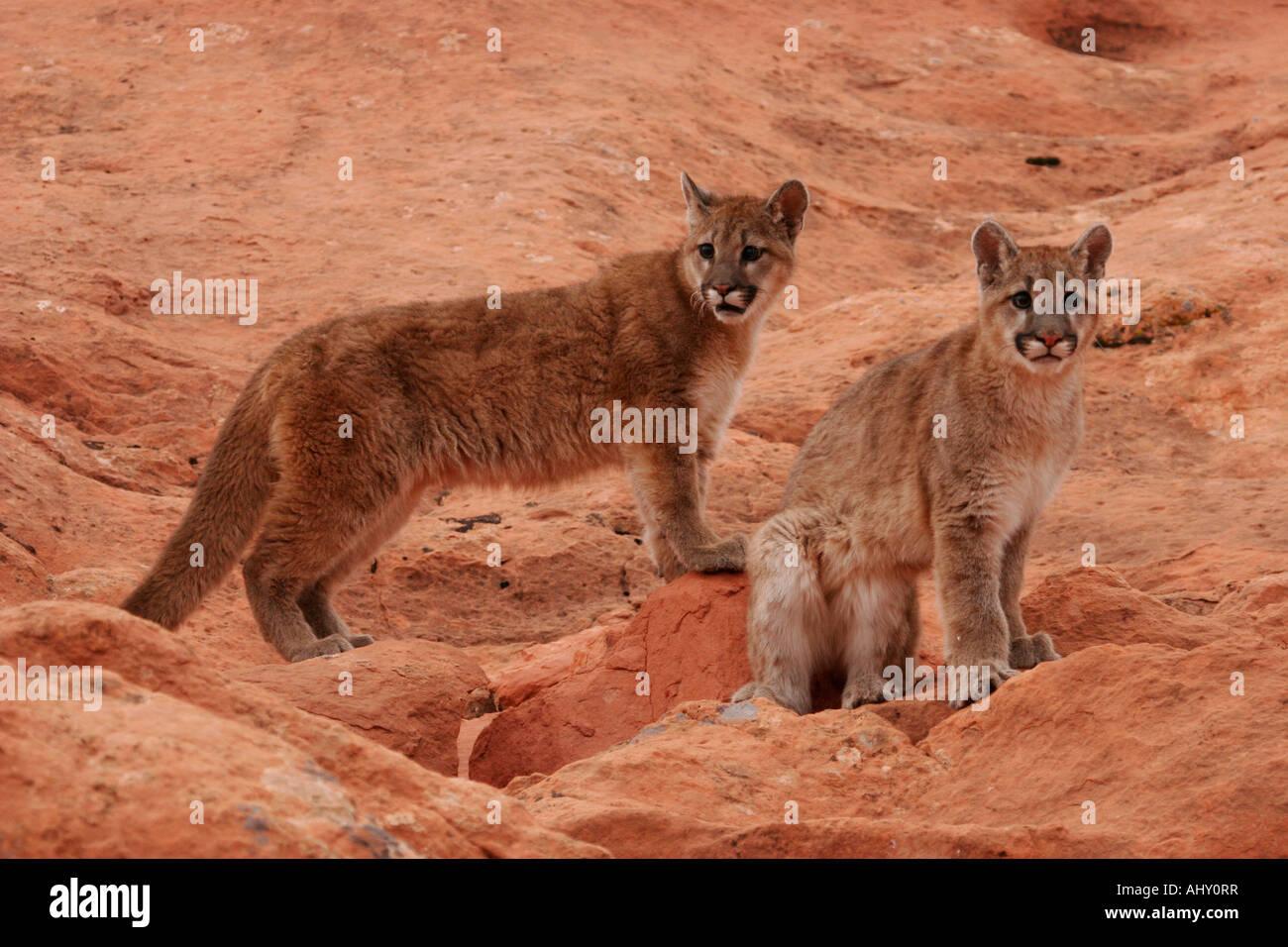 desert cougars